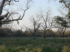 Dead pecan trees